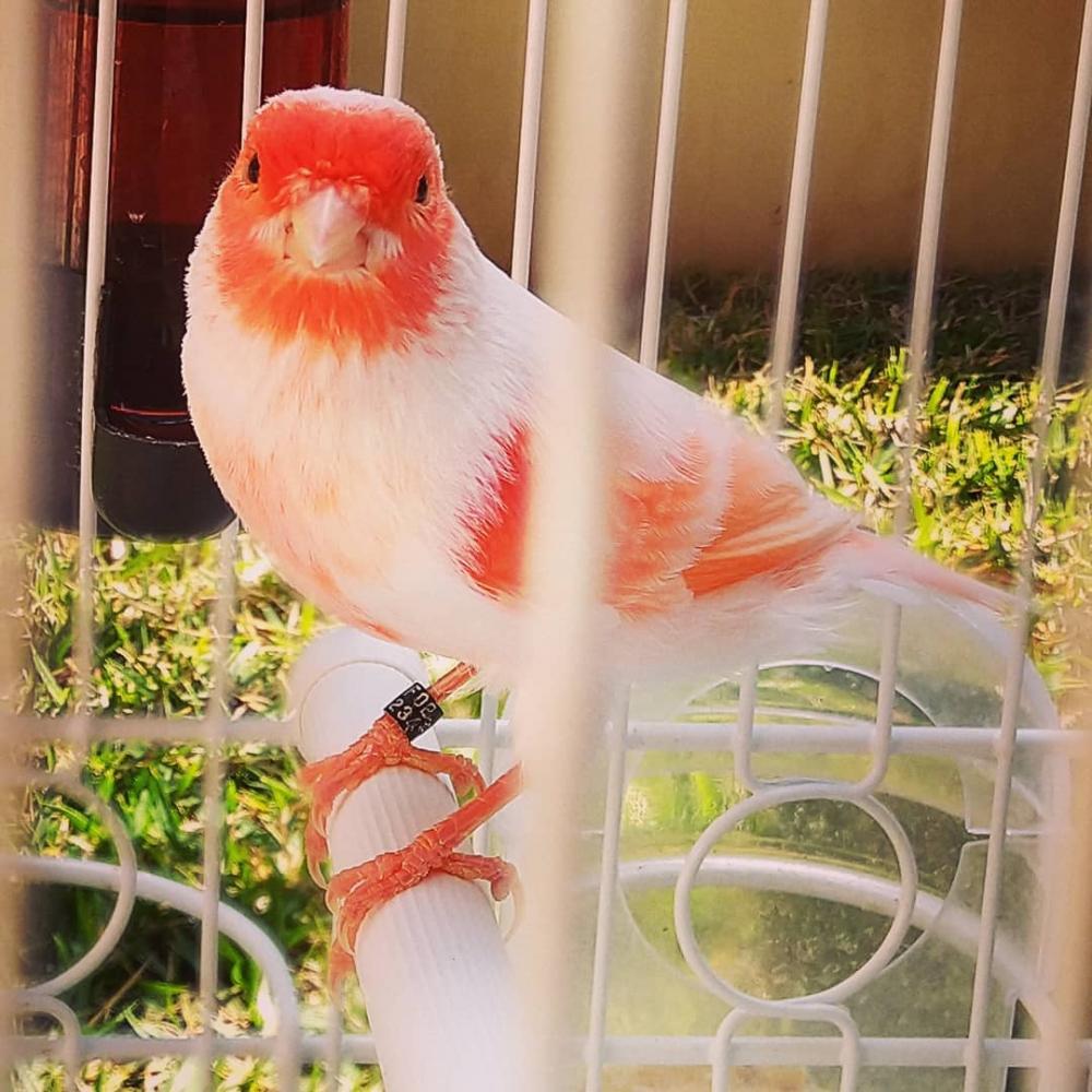 Acompanhe os trabalhos desenvolvido pela Federação Ornitológica do Brasil - FOB