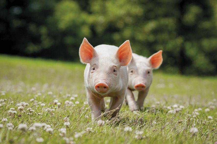 05 pontos que você precisa saber sobre nutrição de suínos