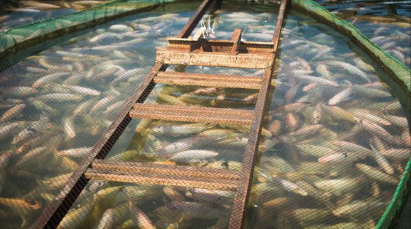 Para situações de alto estresse dos peixes, por exemplo, mudanças repentinas de manejo ou na temperatura da água, a Nutripiscis Reinforce atua no fortalecimento do sistema imunológico, preparando o organismo para esse período de desafio.