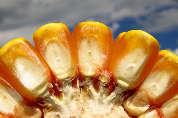 Valor agregado ao milho, utilizando-o para fabricação de etanol pode melhorar o rendimento no futuro para os produtores. Foto Michel Taques.