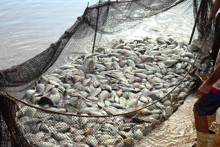Para o técnico do Departamento de Economia Rural (Deral), responsável pelo setor de pescados, Edmar Gervásio, o peixe é um produto que deve conquistar mais espaço em futuro breve tanto em área de produção quanto no gosto do consumidor.