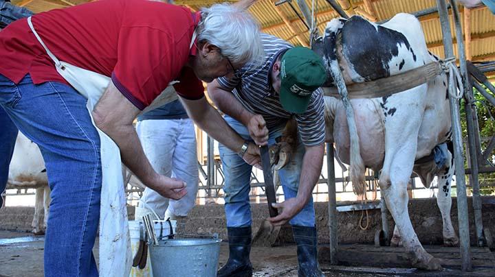 O alinhamento correto dos cascos ajuda o animal a ter bem-estar, o que reflete na produtividade.. Fotos Toninho Anhaia