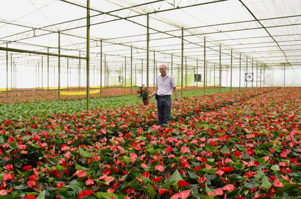"""Produtores de Holambra decidiu abrir as suas fazendas para que os turistas conheçam os """"bastidores"""" de suas modernas produções de flores. Nos dias 4 e 5 de abril."""