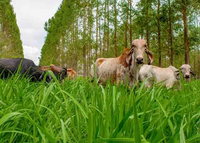 Animais com acesso à sombra produziram 22% a mais de leite e com maior qualidade durante os 33 meses do experimento. Essas vacas também produziram quatro vezes mais embriões em comparação às que pastejaram no sol no período mais quente do ano. Leite pr