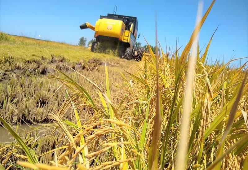 Trabalhos da colheita de arroz continuam no Estado - Foto: Cleiton Ramão/Irga