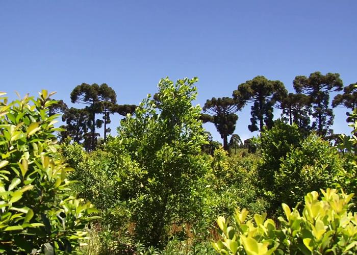 Adoção de tecnologias é capaz de fazer produção subir de sete para 20 t por hectare.Foto Katia Pichelli