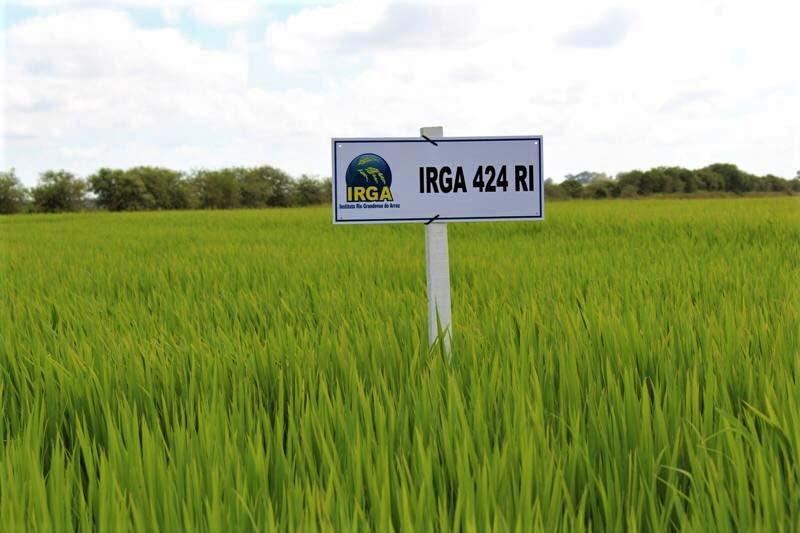 Cultivar IRGA 424 RI lidera o ranking das dez mais - Foto: Danielle Almeida/Irga