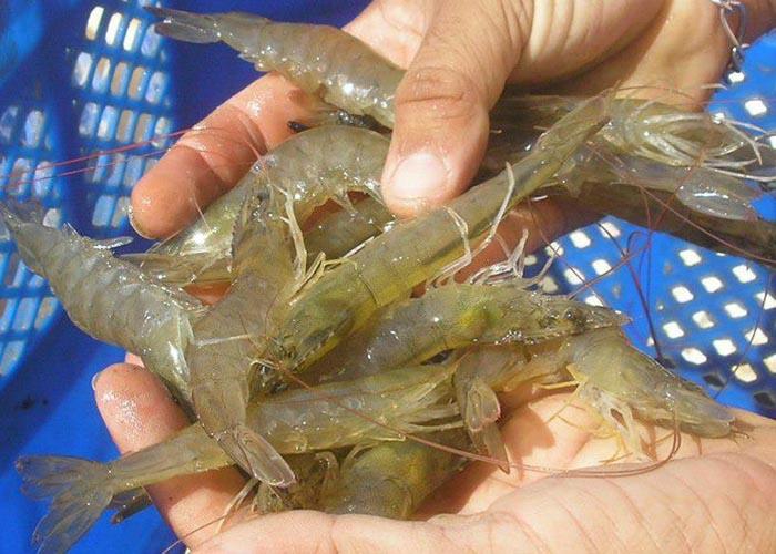 O AquaVitae tem desenvolvido pesquisas com camarões e outras espécies da aquicultura marinha e de água doce. Foto Laurindo Rodrigues