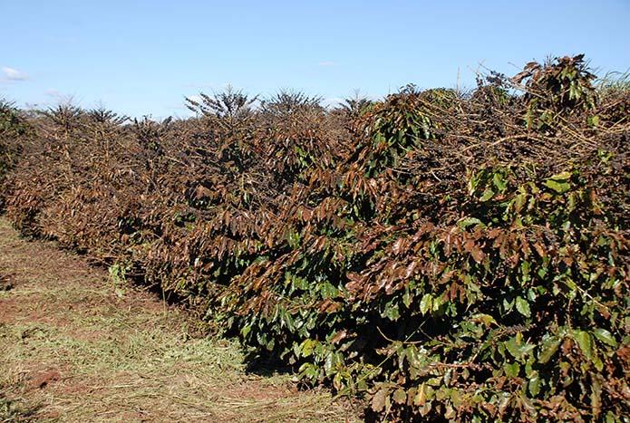 Alerta Geada para a cafeicultura está em operação