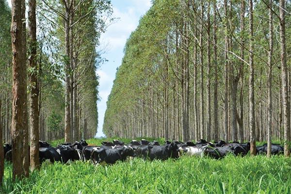 Existem agropecuaristas que estão investindo nos sistemas integrados completos com sucesso.Foto: Gladys Beatriz Martínez/Embrapa
