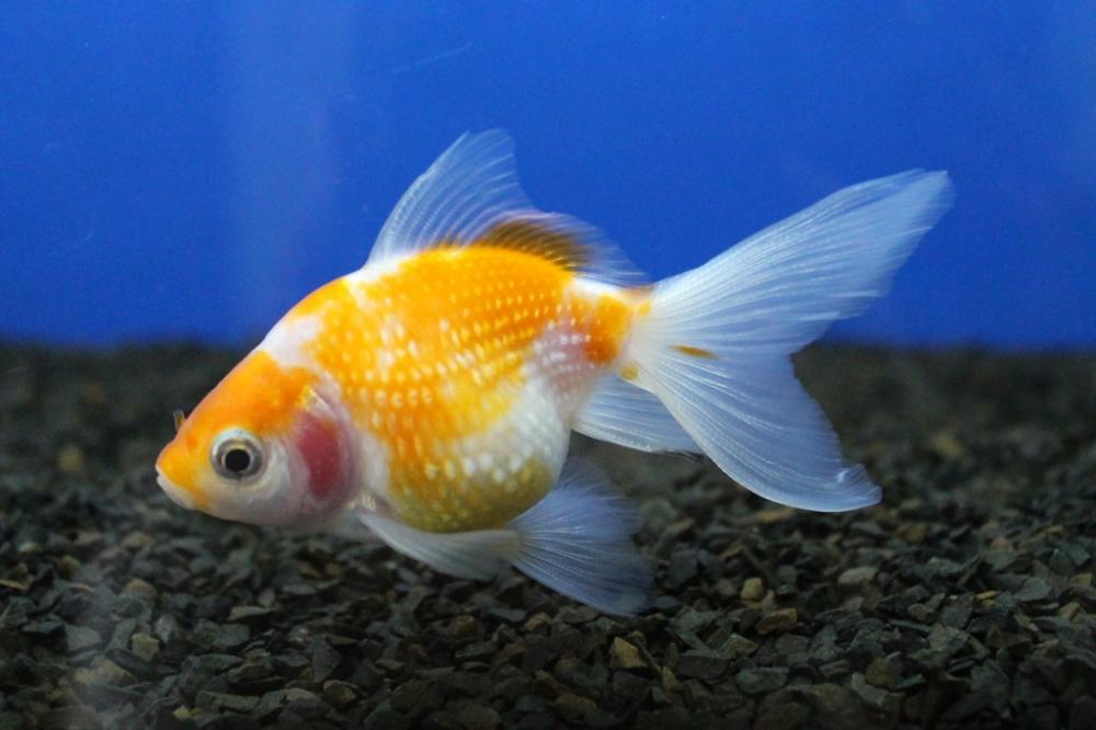 Pesquisa busca caracterizar cadeia produtiva de peixes ornamentais no Brasil