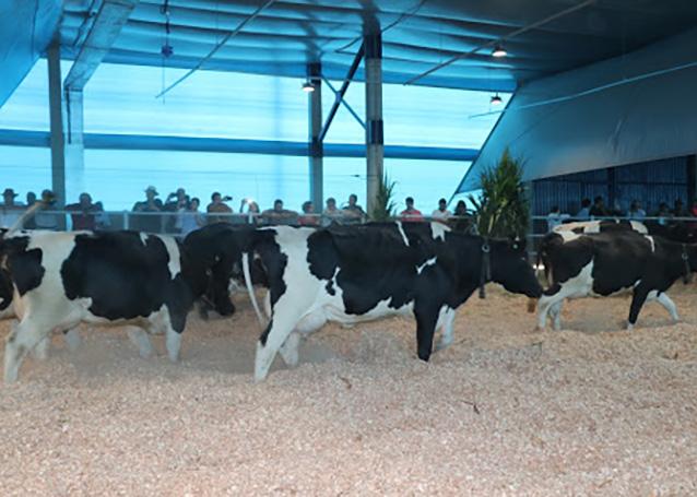 A utilização do compost barn no Brasil era uma reivindicação do setor produtivo desde que os sistemas confinados no País passaram a introduzir esse modelo. Foto  Rubens Neiva.